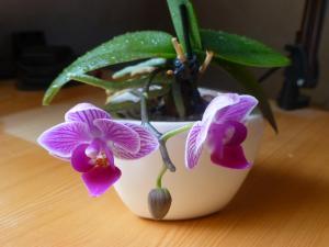 orchideegesicht